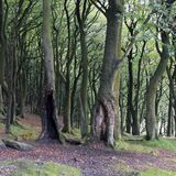Dark dense beech woodland tree trunks in early autumn. In yorkshire england Royalty Free Stock Images
