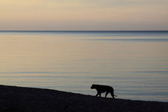 Dark dog on the sea shore. Black dog on the sea shore at sunset time Royalty Free Stock Images