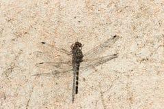 Dark dragonfly Stock Photography