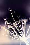 Dark dry Heracleum sosnowskyi flower, inverse. Silhouette macro photo with selective focus and colorful tonal correction filter effect royalty free stock photos