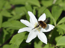 Dark-edged Bee-Fly Stock Images