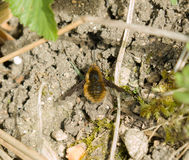 Dark-edged Bee-fly Royalty Free Stock Photo