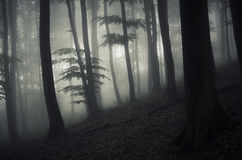Dark enchanted forest with mysterious fog Royalty Free Stock Images