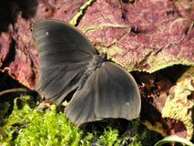 Dark Evening Brown butterfly. Dark Evening Brown Melanitis phedema butterfly with open wings Royalty Free Stock Photo