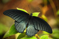 Dark exotic butterfly. Butterfly in the forest. Butterfly sitting on the leaves. Beautiful black butterfly, Great Mormon, resting Royalty Free Stock Images