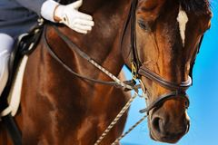 Dark-eyed brown race horse getting ready for annual horserace. Annual horserace. Dark-eyed brown race horse getting ready for annual horserace by his gentle royalty free stock images