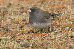 Dark-eyed Junco. Foraging in the dead grass Royalty Free Stock Images