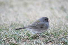 Dark-eyed Junco Royalty Free Stock Image