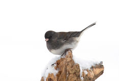 Dark-eyed Junco Stock Photo