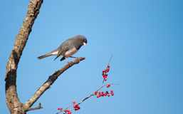 Dark-eyed Junco. Junco hyemalis, perched in a Possumhaw tree against clear blue sky, looking at red berries to eat Stock Images