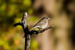 Dark-eyed Junco Stock Image