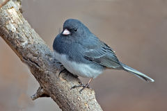 Dark-Eyed Junco. Sitting on a tree branch royalty free stock photography