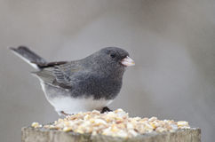 Dark-Eyed Junco. Dark Eyed Junco out for a snack during the winter Royalty Free Stock Photo
