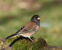 Dark-eyed Junco Stock Photos