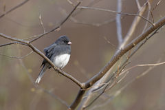 Dark-eyed Junco. (Junco hyemalis hyemalis), Slate-colored subspecies, male in perfect winter plumage sitting on an open branch in a small tree in Winter in New Royalty Free Stock Images