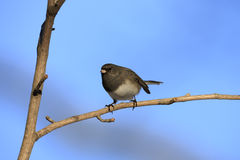 Dark-eyed Junco. (Junco hyemalis hyemalis), Slate-colored subspecies, male on open branch Royalty Free Stock Image
