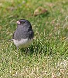 Dark Eyed Junco Stock Photography