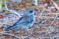 Dark Eyed Junco Stock Image