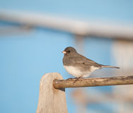 Dark-eyed Junco against a bright blue barn. On a sunny winter day Stock Photos