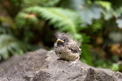 Dark-Eyed Junco Baby Chick. Dark-eyed Junco bird baby chick perched on a rock in Oregon stock images