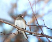 Dark eyed junco bird stock images