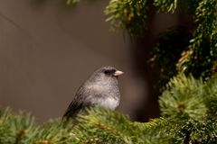Dark-eyed Junco bird. Side view of dark-eyed Junco bird perched on green branches of tree stock photography