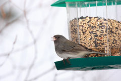 Dark Eyed Junco at bird feeder Royalty Free Stock Image