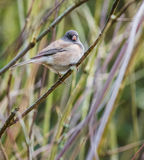 Dark eyed junco bird Stock Photography