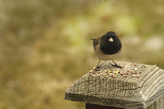 Dark Eyed Junco Eating Royalty Free Stock Image