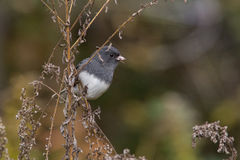 Dark-eyed Junco. Eating seeds royalty free stock photos