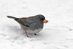 Dark-Eyed Junco Stock Images