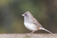 Dark-eyed junco on a fence. A dark-eyed junco stands on a faded wooden fence. Its white belley feathers standout against the deep green background stock photo