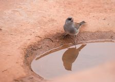 Dark eyed junco getting a drink 1 royalty free stock image