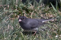 Dark Eyed Junco, Junco hyemalis stock images