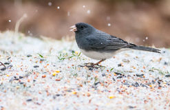 Dark Eyed Junco Royalty Free Stock Image