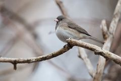 Dark-eyed Junco - Junco hyemalis. A female Dark-eyed Junco - Slate-colored subspecies - is perched on a branch. Taylor Creek Park, Toronto, Ontario, Canada royalty free stock image