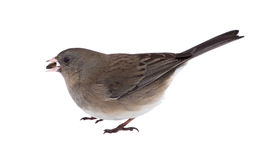Dark-eyed Junco Isolated Stock Image