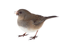 Dark-eyed Junco Isolated Royalty Free Stock Image