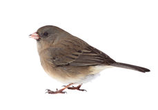 Dark-eyed Junco Isolated Royalty Free Stock Images