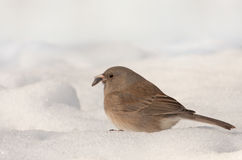 Dark-eyed Junco (Junco hyemalis) Stock Photos