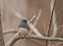 Dark-eyed Junco (Junco hyemalis) Royalty Free Stock Images