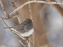 Dark-eyed Junco, Junco hyemalis Stock Photo