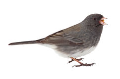 Dark-eyed Junco, Junco hyemalis Stock Images