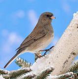 Dark- eyed Junco (Junco hyemalis) Royalty Free Stock Photography