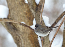Dark-eyed Junco, Junco hyemalis Royalty Free Stock Image