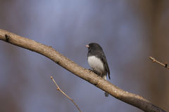 Dark-eyed Junco (Junco hyemalis hyemalis) Stock Photography