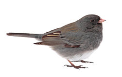 Dark-eyed Junco, Junco hyemalis, isolated Stock Photography