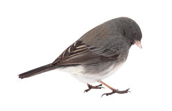 Dark-eyed Junco, Junco hyemalis, isolated Royalty Free Stock Photos