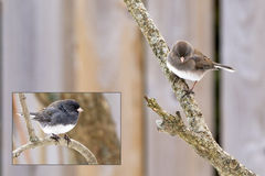Dark-Eyed Junco - Junco hyemalis. Male and Female Dark-Eyed Juncos. Slate coloured juncos are widespread throughout Canada and the Northeastern US. The female is Royalty Free Stock Photos