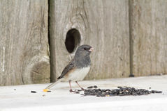 Dark-eyed Junco (Junco hyemalis) Stock Photography